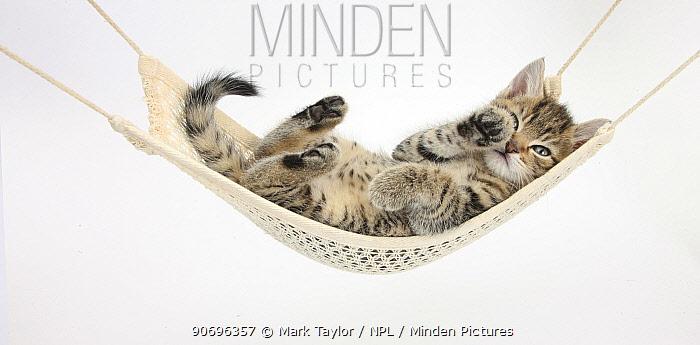 Cute tabby kitten, Stanley, 7 weeks old, lying in a hammock  -  Mark Taylor/ npl