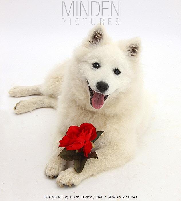 White Japanese Spitz dog, Sushi, 6 months old, holding a red rose  -  Mark Taylor/ npl