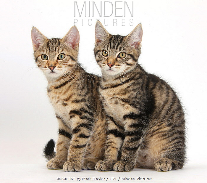 Tabby kittens, Stanley and Fosset, 3 months old, sitting together  -  Mark Taylor/ npl