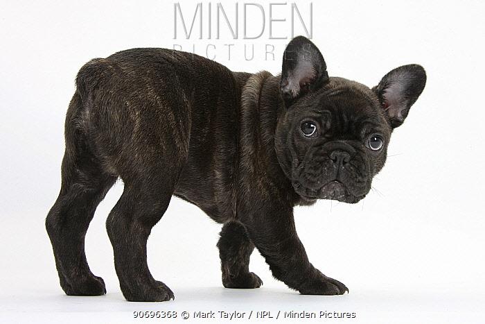 Dark brindle French Bulldog pup, Bacchus, 9 weeks old  -  Mark Taylor/ npl
