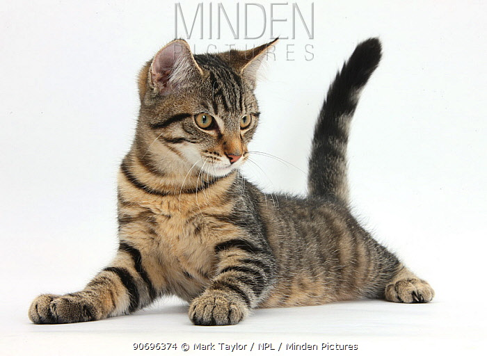 Tabby male kitten, Fosset, 4 months old, lying with his head up  -  Mark Taylor/ npl