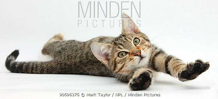 Tabby male kitten, Stanley, 4 months old, lying and stretching out  -  Mark Taylor/ npl