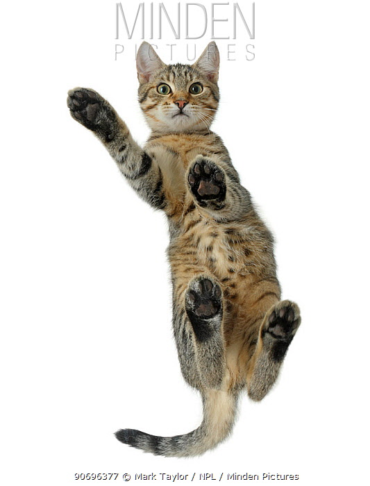 Tabby male kitten, Stanley, 4 months old, from below, showing paw pads  -  Mark Taylor/ npl