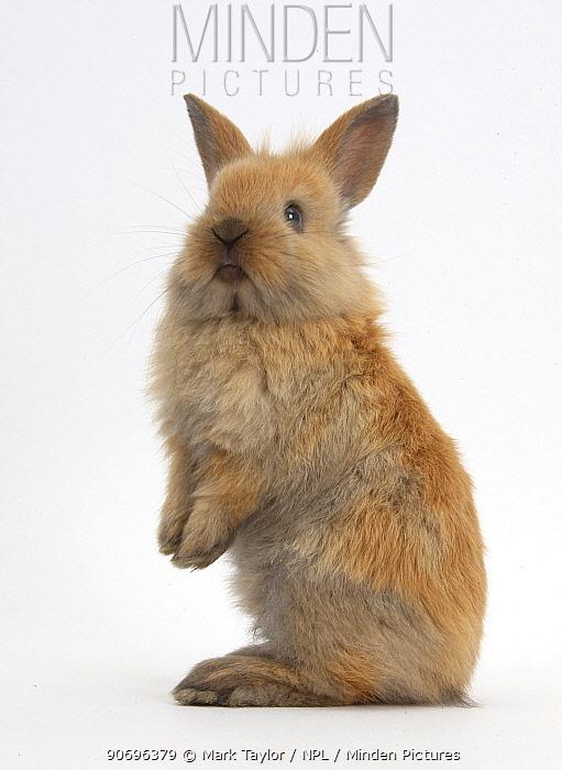 Baby Lionhead cross Lop rabbit, standing  -  Mark Taylor/ npl