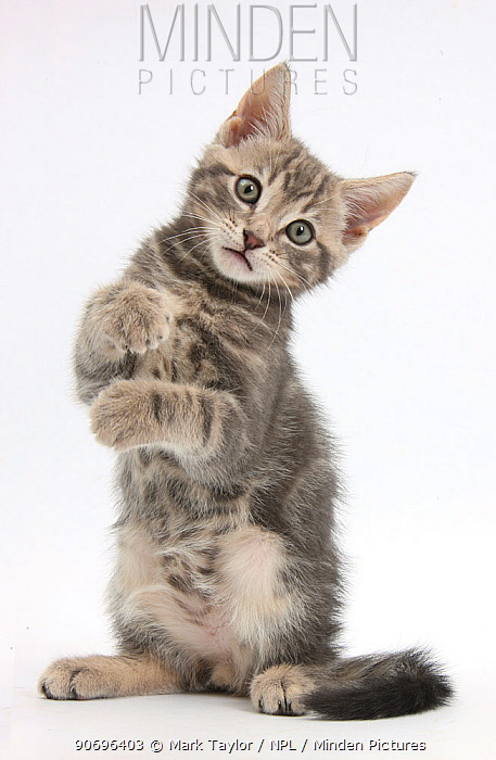 Tabby kitten, Max, 9 weeks old, standing up with raised paws  -  Mark Taylor/ npl