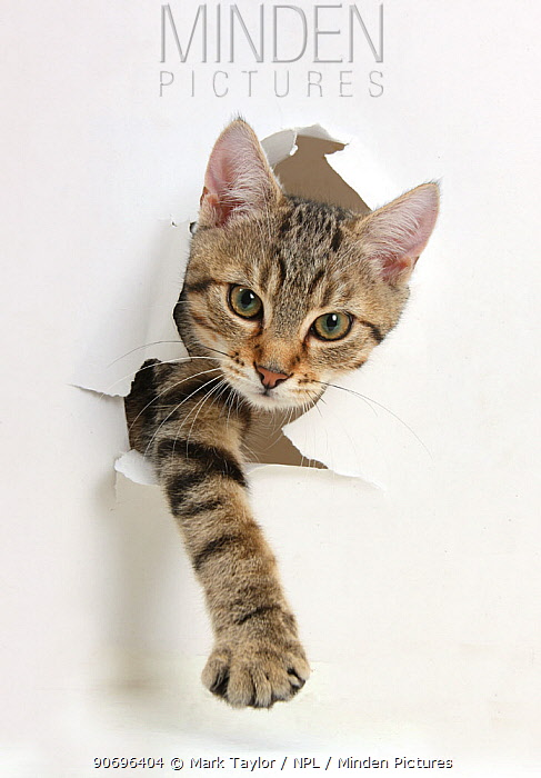 Tabby kitten, Stanley, 4 months old, breaking through paper  -  Mark Taylor/ npl