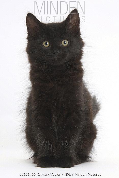 Fluffy black kitten, 9 weeks old, sitting  -  Mark Taylor/ npl