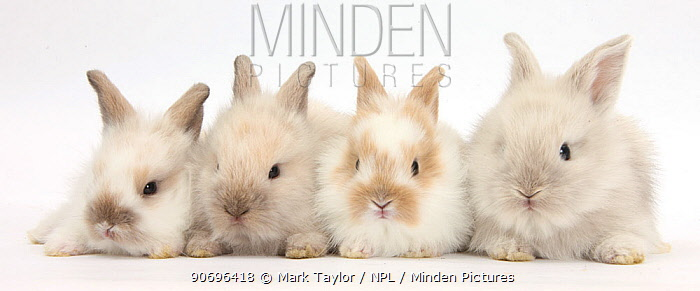 Four baby Lionhead cross Lop bunnies in a row  -  Mark Taylor/ npl