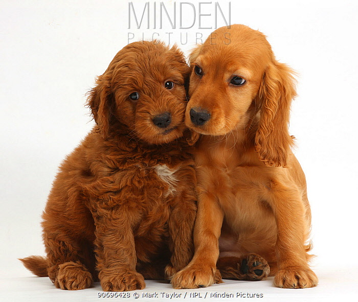 Puppy love, Golden Cocker Spaniel puppy, Maizy, snuggling up to a red F1b Goldendoodle puppy  -  Mark Taylor/ npl