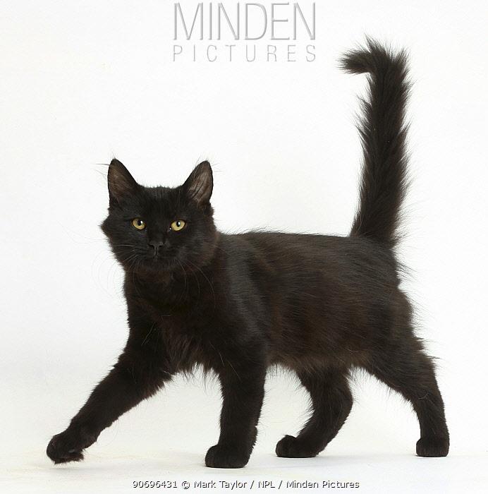 Fluffy black kitten, 12 weeks old, walking across  -  Mark Taylor/ npl