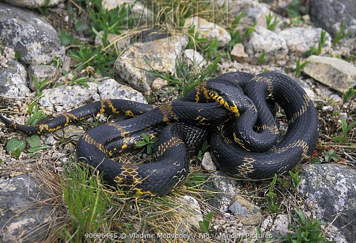 Shrenk's rat snake (Elaphe dione) Lazovskiy zapovednik Nature Reserve, Primorskiy krai, Far Eastern Russia, May  -  Vladimir Medvedev/ npl