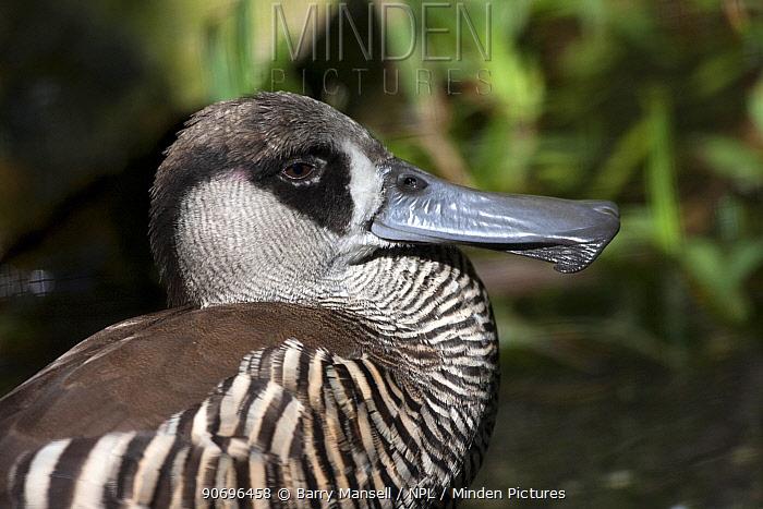 Pink Eared Duck (Malacorhynchus membranaceus) profile portrait, captive  -  Barry Mansell/ npl