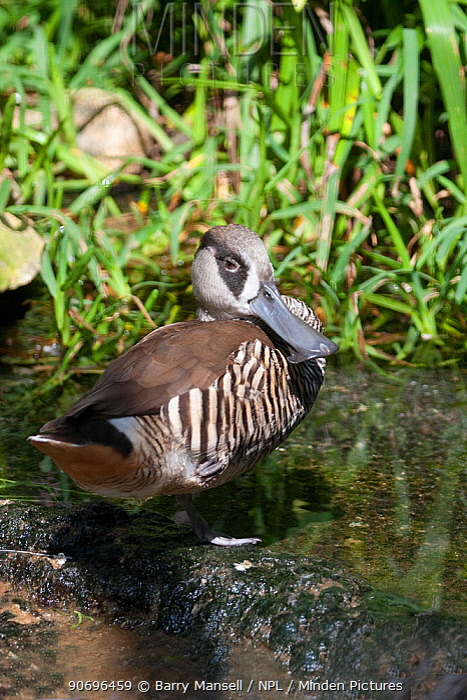 Pink Eared Duck (Malacorhynchus membranaceus) captive  -  Barry Mansell/ npl