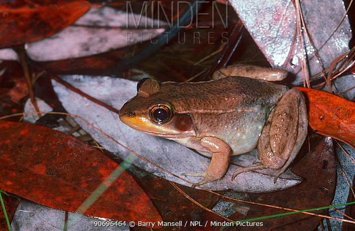 Bog Frog (Lithobates okaloosae) discovered in 1986 and found only in West Florida, USA  -  Barry Mansell/ npl