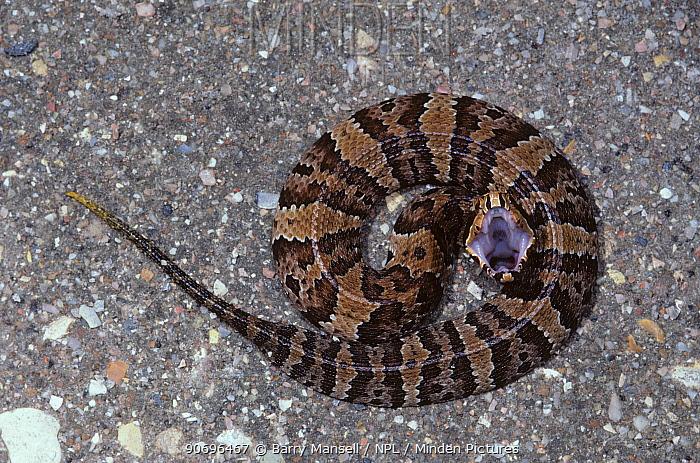 Florida Cottonmouth (Agkistrodon piscivorus conanti)  -  Barry Mansell/ npl