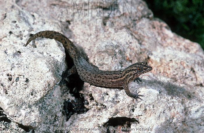 Florida Reef Gecko (Sphaerodactylus notatus) female with two light spots on neck, captive  -  Barry Mansell/ npl