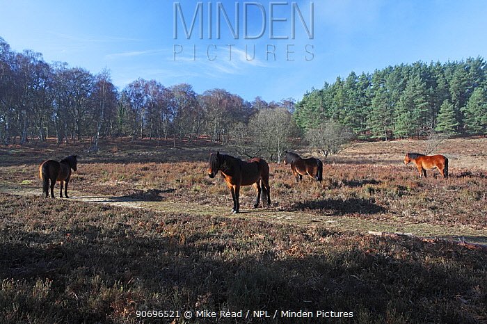 Four New Forest ponies beside a footpath warming themselves in early morning sunshine on heathland recently cleared of invasive sapling and larger pine trees with deciduous and coniferous woodland beyond Vinney Ridge, New Forest National Park, Hampshire, England, UK, February  -  Mike Read/ npl