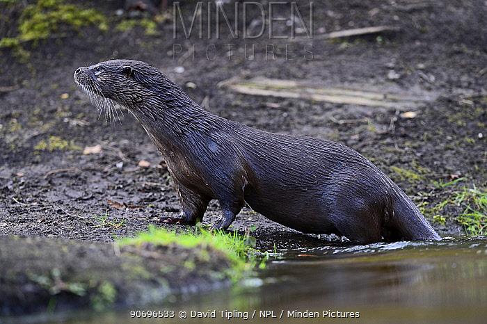 European Otter (Lutra lutra) on river bank River Thet, Thetford, Norfolk, UK, March  -  David Tipling/ npl