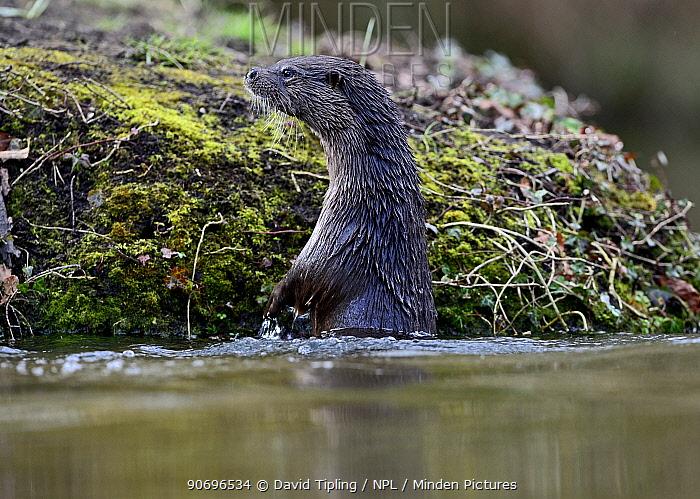 European River Otter (Lutra lutra) by river bank River Thet, Thetford, Norfolk, UK, March  -  David Tipling/ npl