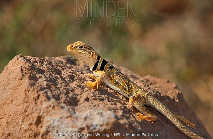Male Great Basin or Desert collared lizard (Crotaphytus insularis bicinctores) sits on a rock outcrop in Redding canyon, Owens valley, Inyo county, California, United States  -  David Welling/ npl