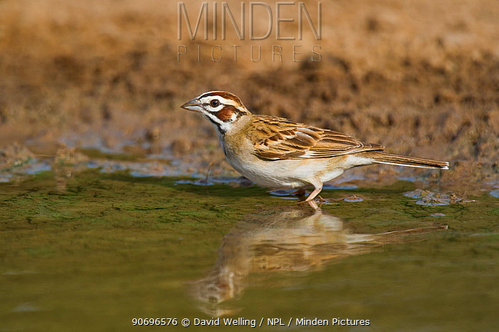 Wild Lark Sparrow (Chondestes grammacus) drinks at the edge of a small pond on Dos Venadas Ranch, Starr county, Rio grande valley, Texas  -  David Welling/ npl