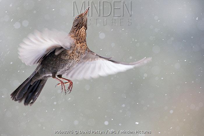 Blackbird (Turdus merula) female in flight during snowfall, Oisterwijk, The Netherlands January  -  David Pattyn/ npl