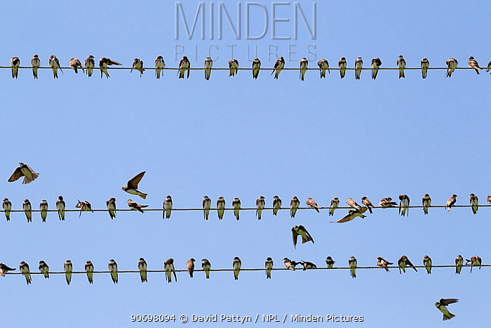 Sand martin (Riparia riparia) sitting on wires during migration Greece May  -  David Pattyn/ npl