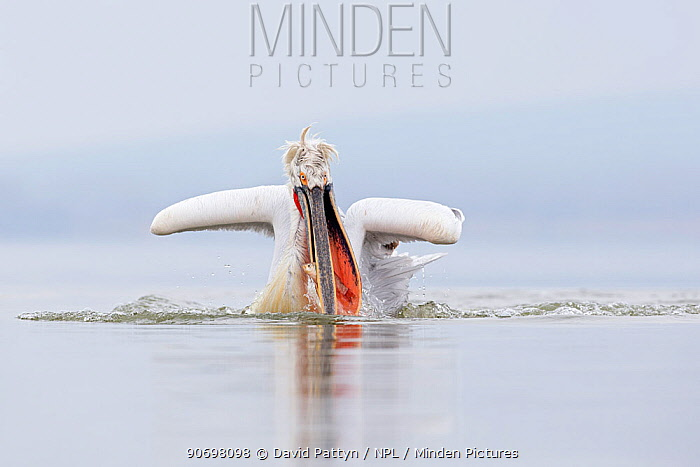 Dalmatian Pelican (Pelecanus crispus) fishing, Lake Kerkini, Greece February  -  David Pattyn/ npl