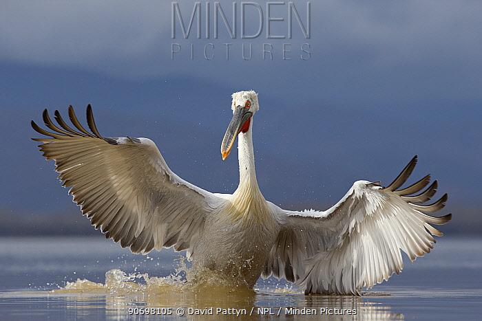 Dalmatian Pelican (Pelecanus crispus) pelican landing while fishingLake Kerkini, Greece February  -  David Pattyn/ npl
