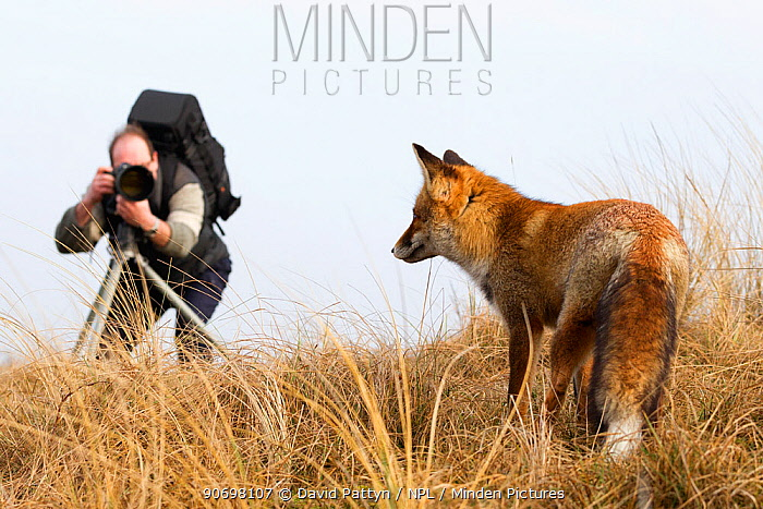 Photographer photographing a Red fox (Vulpes vulpes), The Netherlands, February, 2011  -  David Pattyn/ npl