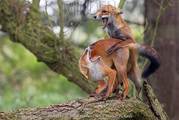 Two Red foxes (Vulpes vulpes) fighting, The Netherlands, August  -  David Pattyn/ npl