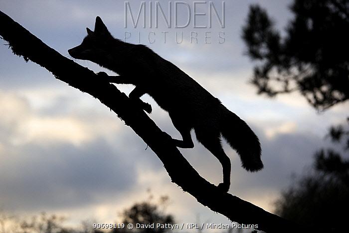 Silhouette of a Red fox (Vulpes vulpes) walking up a branch of a fallen tree, The Netherlands, August  -  David Pattyn/ npl