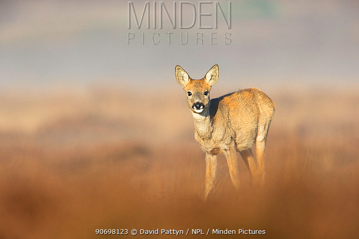 Female Roe deer (Capreolus capreolus) standing in heather, The Netherlands, November  -  David Pattyn/ npl