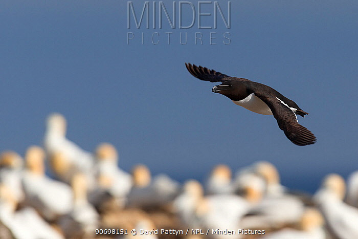 Razorbill (Alca torda) in flight over a colony of Gannets (Morus bassanus) Great Saltee, Saltee Islands, County Wexford, Ireland, June  -  David Pattyn/ npl