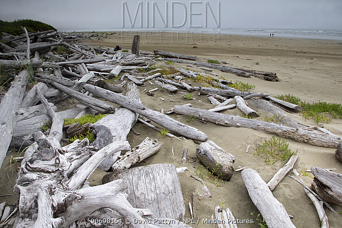 Driftwood washed up on sandy beach on a misty day Wickaninnish Beach, Vancouver Island, British Columbia, Canada, August  -  David Pattyn/ npl