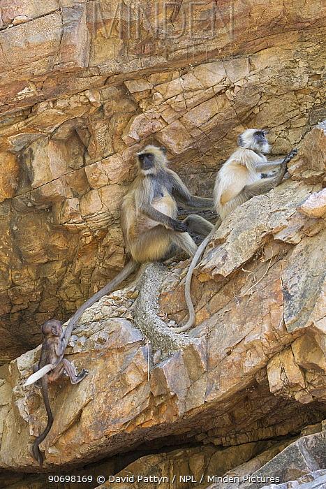 Hanuman langur, Northern Plains Grey Langur (Semnopithecus entellus) youngster climbing on the tail of an adult on rocks, Ranthambore National Park, Rajasthan, India  -  David Pattyn/ npl