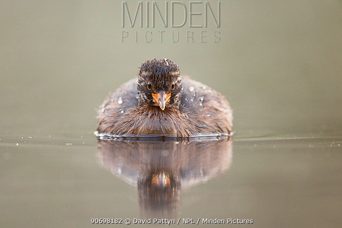Little Grebe (Tachybaptus ruficollis) independent fledgling at 46 days, only identified as young by striped head, portrait on a misty morning The Netherlands, July  -  David Pattyn/ npl