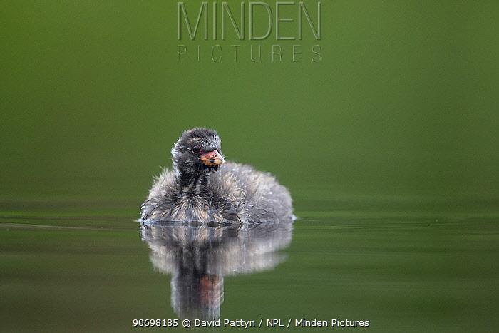Little Grebe (Tachybaptus ruficollis) portrait of a 21 day chick The Netherlands, June  -  David Pattyn/ npl