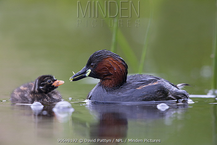 Little Grebe (Tachybaptus ruficollis) female feeding a dragonfly larvae to one of its chicks age 10 days The Netherlands, June  -  David Pattyn/ npl