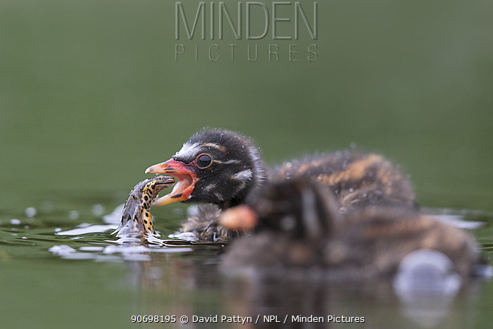 Little Grebe (Tachybaptus ruficollis) 10 day chick tossing up a Smooth Newt (Triturus vulgaris) before swallowing it The Netherlands, June  -  David Pattyn/ npl