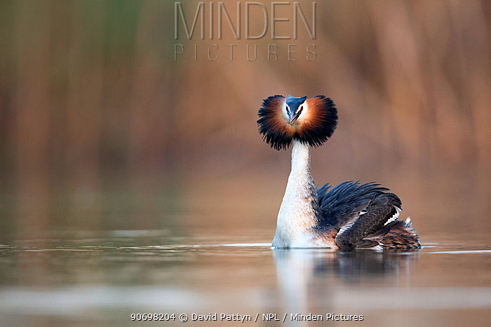 Great crested grebe (Podiceps cristatus) portrait of a bird approaching its partner during courtship The Netherlands April  -  David Pattyn/ npl