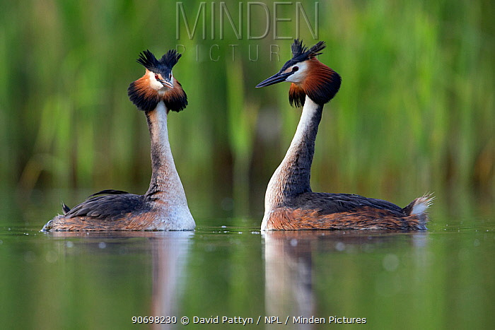 Great crested grebe (Podiceps cristatus) courting pair The NetherlandsMay 2014  -  David Pattyn/ npl
