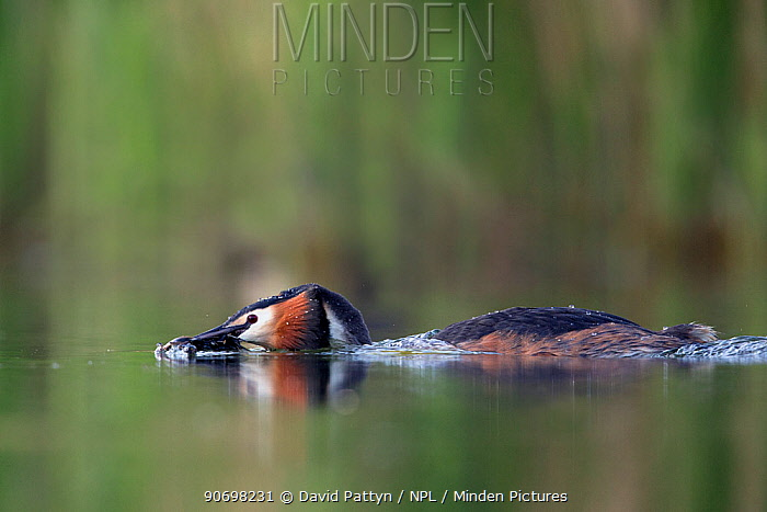 Great crested grebe (Podiceps cristatus) adult bird approaching its partner with plant material to perform their weed dance Mating season The NetherlandsMay 2014  -  David Pattyn/ npl