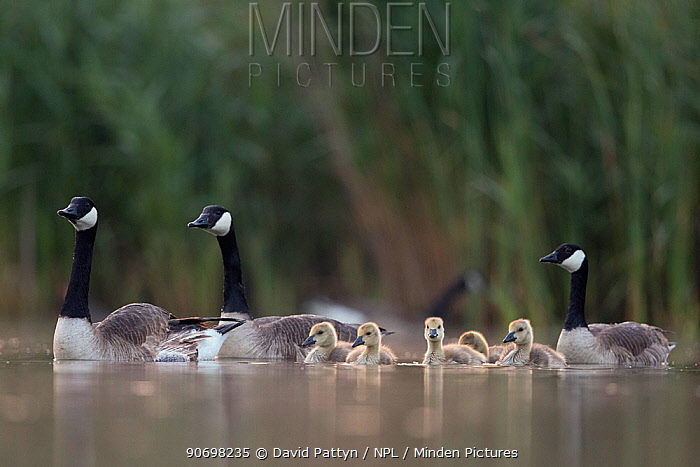 Canada goose (Branta canadensis) group of adults with young chicks The Netherlands June 2014  -  David Pattyn/ npl