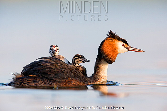 Great crested grebe (Podiceps cristatus) close-up of an adult with two young chicks The Netherlands June 2014  -  David Pattyn/ npl