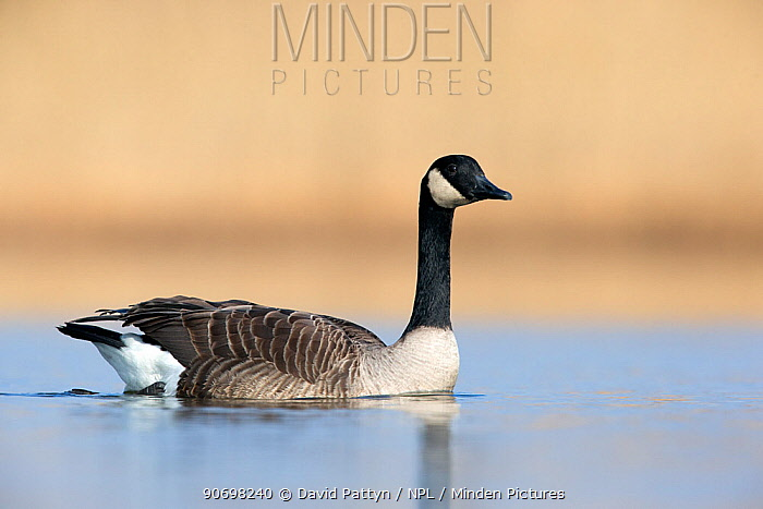 Canada goose swimming portrait (Branta canadensis) The Netherlands March 2013  -  David Pattyn/ npl