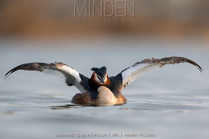 Great crested grebe (Podiceps cristatus) stretching its wings The Netherlands April  -  David Pattyn/ npl