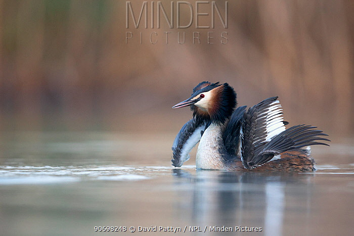 Great crested grebe (Podiceps cristatus) fluffing up its feathers, during courtship dance, whilst its mate dives underwater, The Netherlands April  -  David Pattyn/ npl