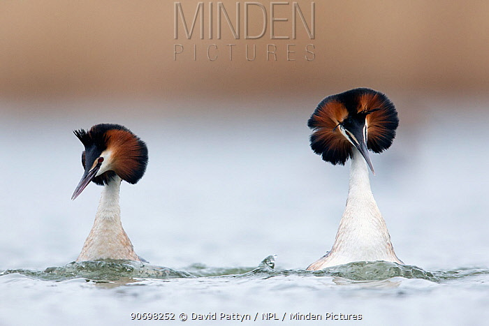Great crested grebe (Podiceps cristatus) pair wimming very fast next to each other and shaking their heads as a part of their courtship dance The Netherlands April  -  David Pattyn/ npl