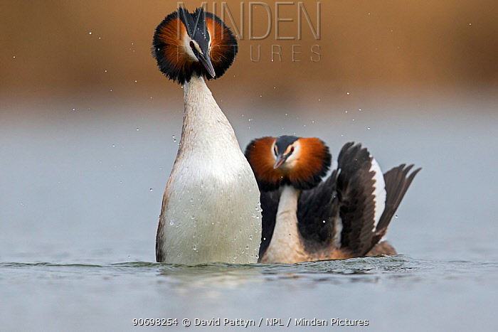 Great crested grebe (Podiceps cristatus) performing courtship dance with one emerging from water right in front of the other which has fluffed up its feathers The Netherlands April  -  David Pattyn/ npl